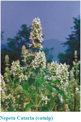 Photo of Nepeta Cateria (catnip) plat