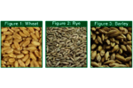 Note 99: Volatile and Semi-Volatile Profile Comparison of Whole vs. Dry Homogenized Wheat, Rye and Barley Grains by Direct Thermal Extraction GC/MS