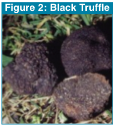 Figure 2 - Black Truffle